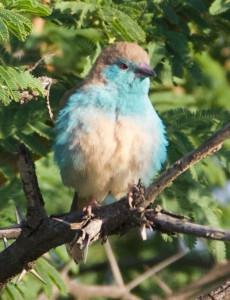 Blue-Waxbill