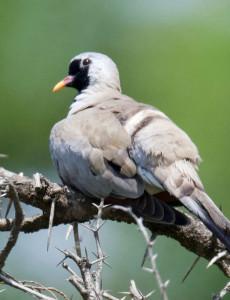 Namaqua-Dove