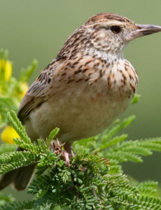 Rufous-Naped-Lark-2