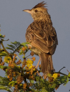 Rufous-Naped-Lark