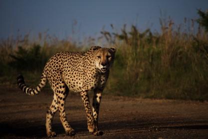 cheetah_rr
