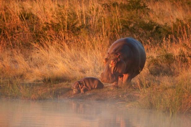 hippos_rr