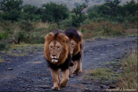 lions_rr