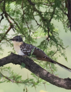 Great-Spotted-Cuckoo